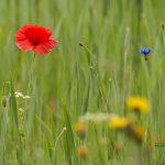 Klatschmohn und Kornblume