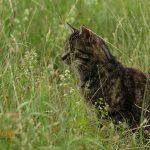 Lauernder Mäusefänger im Gras