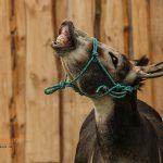 Flehmender Esel
